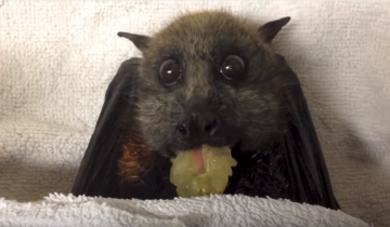 Летучая лисица лопает виноград