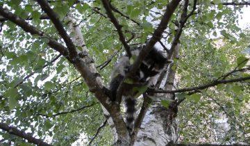 Мама учит своего малыша енота лазить по дереву