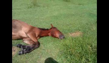Самая ленивая лошадь в мире! Она притворилась больной, чтобы…