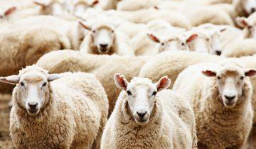 Стадо овец ворвалось в город