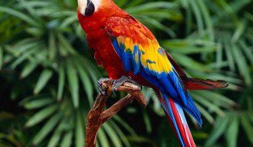 Попугай думает, что он петух!