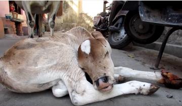 Теленок ранил копыто. Что будет делать корова?