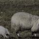 Поросенок думает, что овца – его мама