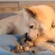 Пес вылизывает котенка
