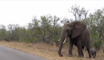Посмотрите, как мама слониха защищает слоненка
