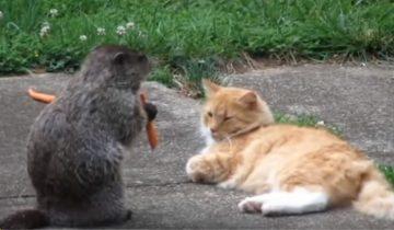 Барсук обворовал кота. Что же будет делать кот?