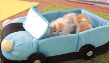 Котятам подарили машину