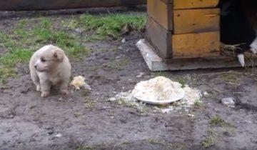 Он охраняет миску с едой от наглых уток