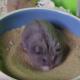 Хомячок принимает песчаную ванну