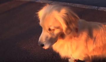 Этот пес имитирует сигналы скорой помощи!
