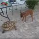 Задиристая черепаха гоняет собаку по двору. Какая шустрая!