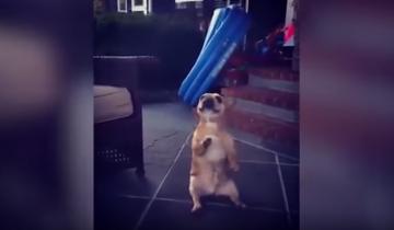 Собака зажигает под популярный хит!