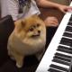 Померанский шпиц играет на пианино вместе с хозяином