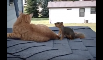 Белка обожает кота. Посмотрите, что она с ним вытворяет!