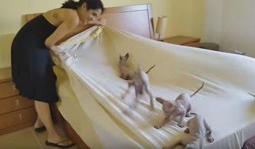 Женщина пытается заправить постель, но у котят другие планы!