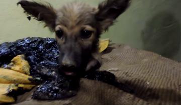 Трехмесячный щенок застрял в яме с дегтем. Что с ним произошло дальше?