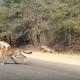 Убегая от гепарда, антилопа нашла спасение в машине туристов!