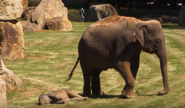 Мама не может разбудить маленького слоненка