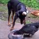 Курица залезла к доберману в миску прямо во время трапезы!