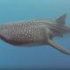 Она плавает с гигантской китовой акулой. Это восхитительно!