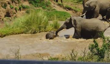 Слоны спасают тонущего слоненка, которого чуть не унесло течением реки