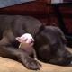 Даже суровый пес может быть нянькой для малыша
