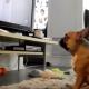 Бульдог любит телевизионные шоу с собаками