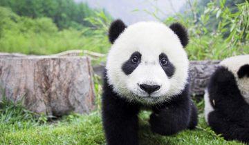 Панды – самые смешные существа на земле. Интересная подборка