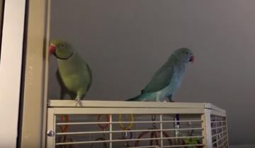 Попугаи общаются и обмениваются поцелуями!