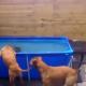 Шина оказалась в бассейне… Что сделают собаки, чтобы ее достать?