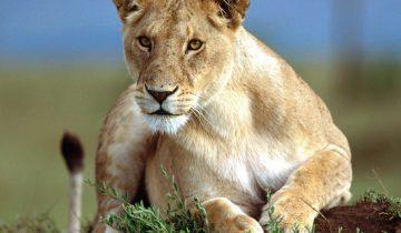 Львица Маша уже много лет пасет овец