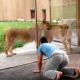 Парень в зоопарке играет со львами