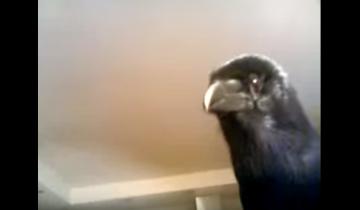 Говорящий ворон по кличке Морган выпрашивает конфету!