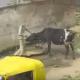 Корова сообразила, как накачать воду из колонки