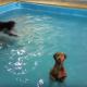 Собака купалась в бассейне, но увидела камеру…