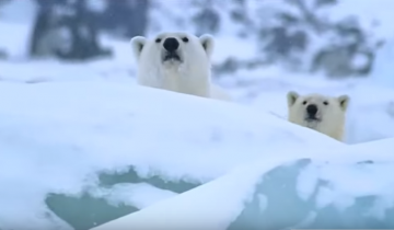 Медведи не могут понять, что это за «колобок – шпион»