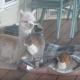 Альпака Лейси думает, что она – кошка!