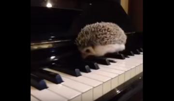 Сам того не ведая, этот еж играет джаз!