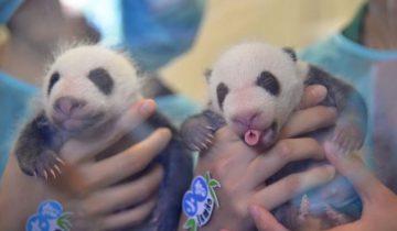 Панды-близнецы празднуют 1 месяц своего рождения!