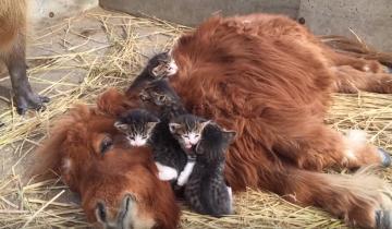 Кошка с котятами оккупировали чужой вольер. Капибара в шоке!