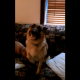 Хозяин выгоняет собаку с дивана. Посмотрите, что она делает!