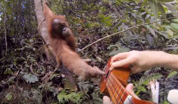 Орангутанг пытается сыграть на укулеле