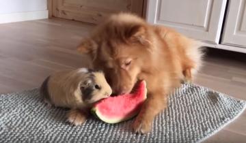Собака и морская свинка получили одно угощение на двоих!