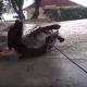 Спасатели с ловят собаку породы питбультерьер, чтобы оказать ей помощь!