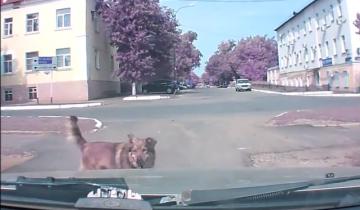 Собака пыталась предупредить водителя об аварии