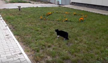 Кот гоняет собаку по двору