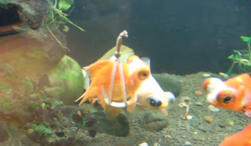Эта рыбка не могла плавать, для нее сделали «инвалидную коляску»