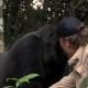 Мультимиллионер попал в лапы к горилле…
