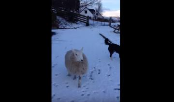 Ягненок играет с собаками
