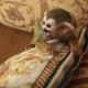 Кошечка из Тюмени стала приемной мамой обезьянки!